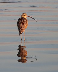 Long billed curlew mirrored (Victoria Morrow) Tags: