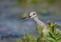 Young Willet 8_18 2 (krisinct- Thanks for 12 Million views!) Tags: nikon d500 500 f4 vrg