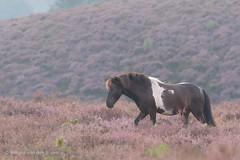 Dreamer in Purple (Renate van den Boom) Tags: 08augustus 2016 europa gelderland heide jaar landschap maand natuur nederland paard renatevandenboom veluwezoom zoogdieren