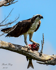Osprey with Lunch (dbking2162) Tags: birds bird birdofprey osprey florida fish nature wildlife animal fortmyersbeach outside blue fishing eagles