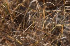 Sympetrum fonscolombii a pesar de la intensa sequa (esta_ahi) Tags: bellestar santamargaridaielsmonjos peneds barcelona spain espaa  sympetrum fonscolombii sympetrumfonscolombii liblula libllula dragonfly odonata insectos fauna