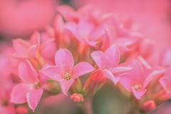 Melting Point (satochappy) Tags: kalanchoe potplant pink green flowers  tamron bokeh macro garden gardencafe cafeonceuponatime serene pastel  plants canon eos sydney australia