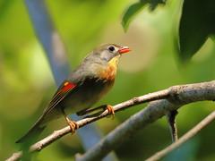 Red-billed Leiothrix (Leiothrix lutea)  (sp. # 102) (s_uddin59) Tags: redbilledleiothrix aiealooptrail aiea honolulu oahu hawaii leiothrixlutea pekingrobin pekingnightingale forestbird keaiwaheiaustatepark 2016 september