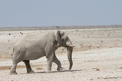 Namibia 2016 (308 of 486) (Joanne Goldby) Tags: africa africanelephant august2016 elephant elephants etosha etoshanationalpark explore loxodonta namiblodgesafari namibia safari