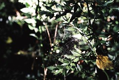 Fragon entoilé (Sarah Devaux) Tags: fragon toile araignée vert feuilles forêt bois rouge boule lumière extérieur campagne balade charente barro rond wood red green web argentique silver