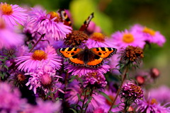 autumn butterfly (zool18) Tags: beauty botanic garden macro amazing mark2 animal autumn butterfly flower canon color picture pink travels nature insect life 7d
