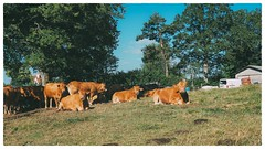 Vaches (Roxo15) Tags: 2016 animals cadre cantal em5ii film05 frame france lieux niksoftware olympus stmamet vsco animaux flikr nature cow