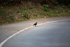 Lone Crow (Mason Aldridge) Tags: canon 6d magicdrainpipe drainpipe 80200 8020028 f28 bokeh dof shallow focus llens