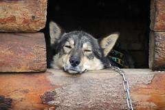 sled dog (scott1346) Tags: dog huskymix musher animal running pulling racing sled alaska 1001nights 1001nightsmajiccity simplysuperb