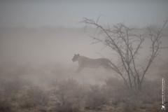 DSC_3945.JPG (manuel.schellenberg) Tags: namibia animal etosha nationalpark lion hunting