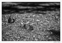 two sisters (Alja Ani Tuna) Tags: 100 100365 365 pigeon two sisters birds bw blackandwhite black white blackwhite beautiful nikond800 nikkor nikkor85mm naturallight nature nice photo365 project365 d800 dailyphoto day onephotoaday onceaday 85mmf18 f18 35mm 365challenge 365project