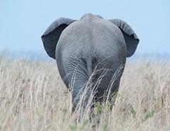 Backside (Kitty Kono) Tags: elephant backside rearend kittyrileykono masaimara kenya