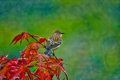 In the Rain (robinlamb1) Tags: birds animal bird nature warbler yellowrumped yellowrumpedwarbler japanesemaple fallcolours outdoor raining aldergrove