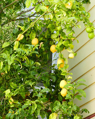 walking to the top of the 22nd street hill, lemon tree 8-16 (nolehace) Tags: start partthree series walk top 22nd street hill lemon tree plant summer nolehace sanfrancisco fz1000 816