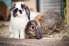 99/366 - Happy Easter! (Randi Rains Johnson) Tags: bunnies rabbits niko noelle 2012 366 3651 minilophollandlop