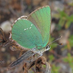 Green Hairstreak - Callophrys rubi (camerar) Tags: green portugal butterfly butterflies insects borboleta borboletas lycaenidae greenhairstreak hairsteak callophrysrubi