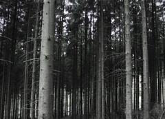 Taunus (IMG_4364) (jan kuenzel) Tags: plants tree green art nature forest germany landscape deutschland photo europa europe foto fotografie kunst secret natur pflanzen atmosphere photograph grün straight landschaft wald taunus baum tannen gerade geheimnisvoll tannenwald atmoshpäre jankünzel