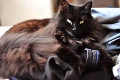 Laundry Elizabeth (flossyflotsam) Tags: cute cat 50mm nikon nap laundry d5000