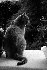 Osservazione felina (Alessandro__78) Tags: cat felix sguardo felino gatto certosino osservazione