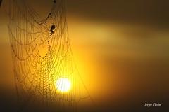 Novo dia (6151) (Jorge Belim) Tags: amanhecer nascente aranha teia preferida arrebol novodia canoneos50d
