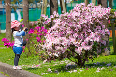 Harry_04021,,,,,,,,,,,,, (HarryTaiwan) Tags: school flower spring university rhododendron ntu taipei azalea              nationaltaiwanuniversity              harryhuang