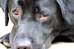 hope (Hebetheclick) Tags: dog swim eyes sink blacklab swim2 sink2 swim4 sink3 sink4 swim3 sink5 sink7 sink6