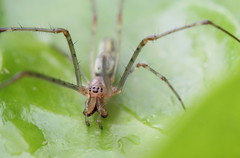 spider's portrait (bugman11) Tags: macro nature animal animals fauna canon bug insect spider niceshot spiders nederland thenetherlands insects bugs 1001nights soe flickraward platinumheartaward 100mm28lmacro 1001nightsmagiccity mygearandme mygearandmepremium allnaturesparadise