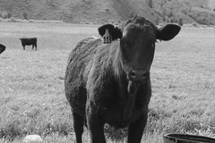 #113 (andrewpug) Tags: blackandwhite white black cow moody ears scene moo pasture ear utter edgy
