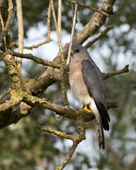 Levant Sparrowhawk / Accipiter brevipes /  (Panayotis1) Tags: birds canon aves greece animalia accipiter accipitridae chordata accipitriformes canonef400mmf56lusm imathia   levantsparrowhawk accipiterbrevipes  66 tafros66 kenkopro300afdgx14x