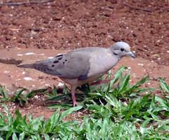 Eared Dove (Evie Ekins) Tags: eareddove zenaidaauriculata p1020244 argentinajardindelospicafloresmisionespuertoiguazu