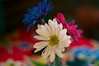 Happy flowers (Kym.) Tags: pink blue usa white flower colours houston greensflowers happyflowers lastconcertcafe
