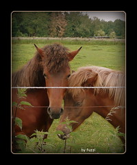 Couple in love..... (Fuzzi :-)) Tags: horses horse framed panasonic pferde pferd rahmen dmctz3 tz3