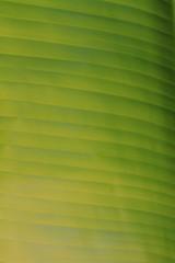 Feuille de Bananier - Jardin Botanique - Rio de Janeiro - Brsil (Micky75017) Tags: voyage travel viaje brazil tree green nature rio brasil ro canon garden photo janeiro bresil picture jardin brasilien vert jardim botanico 7d botanic botanique brasileiro brasile imagen feuille brsil brazili bananier bresilian    brazylia   brazlia bresilien   ducloux  micky75017