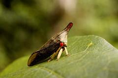 Soldadinho (Classe Insecta, Ordem Hemiptera, Familia Membracidae) (Enio Branco) Tags: macro bugs insetos macroworld macromundo incects biodiversidade sonyalpha natureplus votorantim macrobrasil macromaniaanimal eniobranco serrasaofrancisco