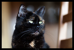 Diva (meyla555) Tags: pet animal cat emma gato katze haustier calicocat tier 2012 glckskatze animaldomstico schildpatt immendorf tortoiseshellcats canoneos50d