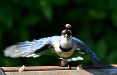 Blue Jay Juggling Peanuts (KoolPix) Tags: bird nature animal wings peanuts bluejay juggling naturephotography naturephotos koolpix thewonderfulworldofbirds photocontesttnc12 jaydiaz jaydiaznaturephotographer