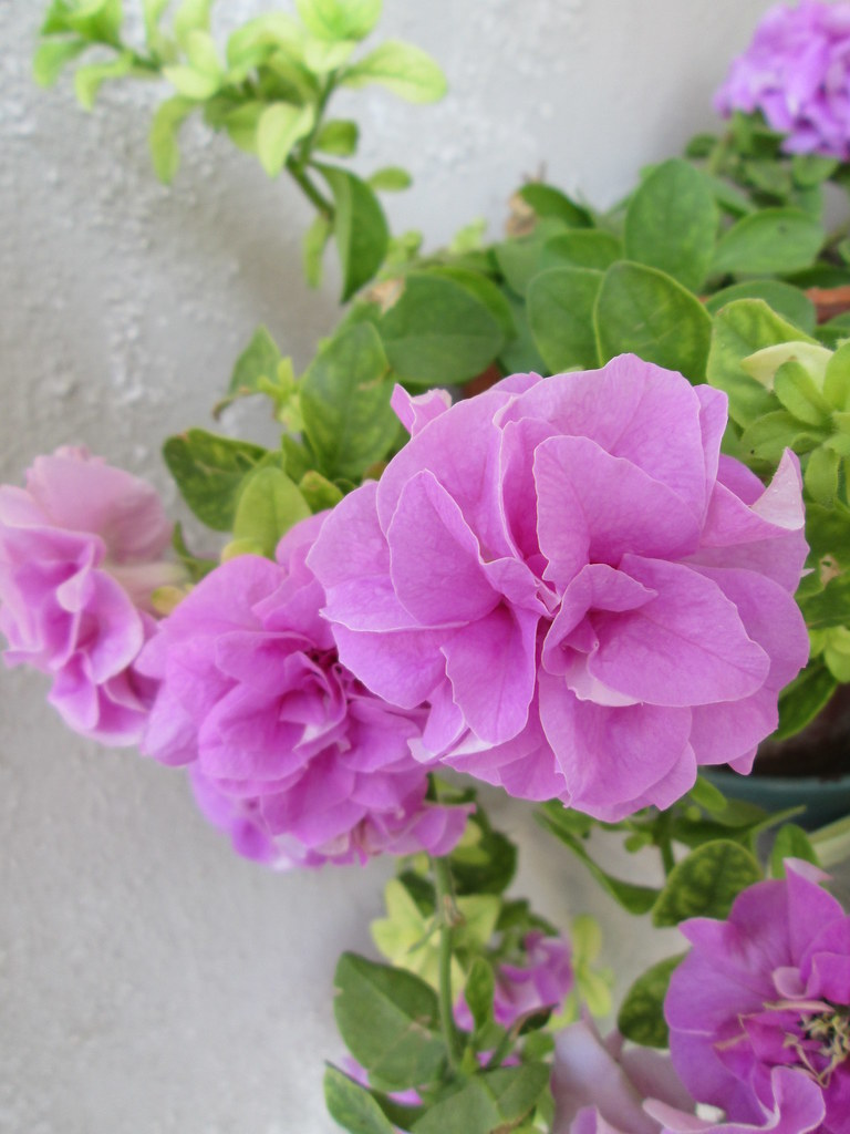 Surfinia Double Lilac (u2022 Gonzo In Bat Country U2022) Tags: Summer Flower Estate