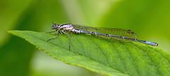 IMG_0293 Azure Damselfly (Coenagrion puella), Brandon Marsh, Warwickshire 12June12 (Lathers) Tags: brandon warwickshire azuredamselfly coenagrionpuella brandonmarsh canon7d canonef100f28lisusm wkwt 12june12