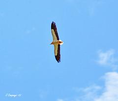 Aufrany - 284 (Pep Companyó - Barraló) Tags: fauna aves aus petit neophron percnopterus josep ornitologia alimoche voltor egipci companyo aufrany barralo neophronx