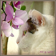 Jasmijn loves flowers. (Cajaflez) Tags: flowers portrait pet white eye cat see kat chat orchids ear katze orchidee portret wit gatto huisdier gatti bloemen oog zien oor jasmijn kissablekat bestofcats catmoments 100commentgroup saariysqualitypictures 5boc mygearandme panasonicdmcfz150 rememberthatmomentlevel1 rememberthatmomentlevel2 rememberthatmomentlevel3 picmonkey