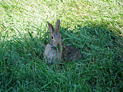 Eating some of the grass (debstromquist) Tags: illinois backyard wildlife il myhouse brookfield rabbits eatinggrass easterncottontails