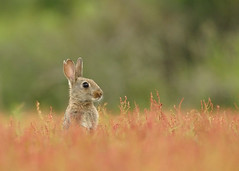 Juvenile european rabbit (Wouter's Wildlife Photography) Tags: nature field mammal konijn wildlife ngc natuur npc meijendel wildrabbit zoogdier europeanrabbit oryctolaguscuniculus commonrabbit mygearandme mygearandmepremium mygearandmebronze mygearandmesilver mygearandmegold mygearandmeplatinum mygearandmediamond dblringexcellence tplringexcellence eltringexcellence