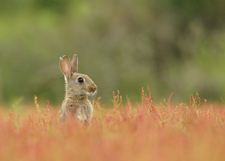 Juvenile european rabbit