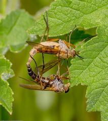 IMG_0063 Snipe Flies (Rhagio tringarius agg) female on top, Attleborough Fields, Nuneaton, Warwickshire 13June12 (Lathers) Tags: warwickshire nuneaton snipeflies canon7d canonef100f28lisusm attleboroughfields rhagiotringariusagg