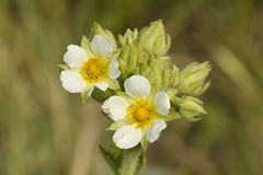 Potentilla arguta (Prairie Cinquefoil) -- Rosaceae (Michael Huft) Tags: cinquefoil rosaceae potentilla potentillaarguta prairiecinquefoil