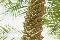 West Palm © (Blackcatatheart) Tags: fern tree texture nature weather florida sunny palm bark palmtree treetop