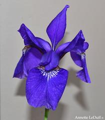 Blue Iris for Beverly (Annette LeDuff) Tags: flowers blue iris flower flora pinkandblue siberianiris fragrantflowers mystictopaz purpledreams flowersofnature whatistriveforinphotography top25purple top25royppb photoannetteleduff annetteleduff everythingflowers 05292012 lookinblue