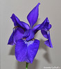 Blue Iris for Beverly (Annette LeDuff) Tags: flowers blue iris flower flora pinkandblue siberianiris fragrantflowers mystictopaz purpledreams flowersofnature whatistriveforinphotography top25purple top25royppb photoannetteleduff annetteleduff everythingflowers 05292012 lookinblue