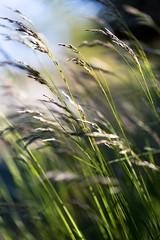 Grs (Look at the Birdie!) Tags: grass archipelago skarprunmarn