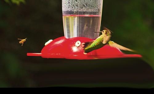 Hummingbird_Aerial Acrobatics